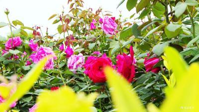 月季花开 满城春色如许