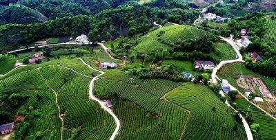 张祖锦:领着茶农欢唱幸福歌
