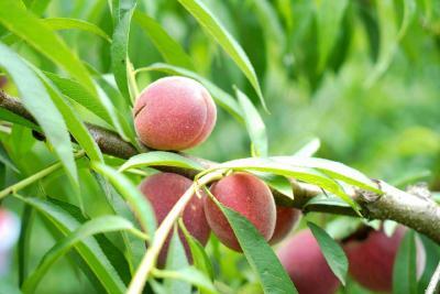 小水果酝酿富民大产业