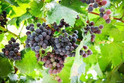 我市第四届葡萄节将于7月27日在五峰山举行