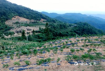 茶园套种辣椒 杉木坑能人回乡创业显成效