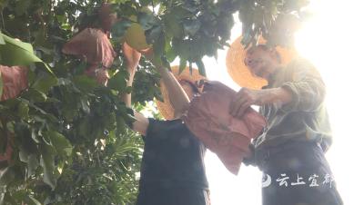 """【千名干部进千企】市农技人员为蜜柚基地加强科学管理现场开""""处方"""""""