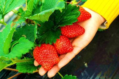 快来尝鲜!枝城草莓提前一个月上市
