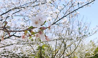 """""""疫""""去春来,又是一年樱花开!"""