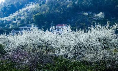 隔空赏花,走进架锅山的春天