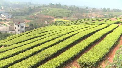满山春茶绿 采茶正当时