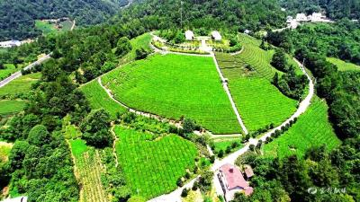 """让茶叶变""""金叶""""  宜都打造3000亩优质茶示范基地"""