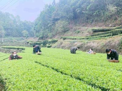 绿竹溪村:党员助农茶飘香