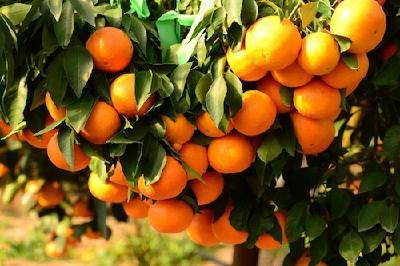 【三峡宜昌网】张家冲村:柑橘产业铺就致富路