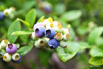 20亩蓝莓明日开园采摘!就在枝城这个地方...