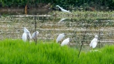 【航拍】枝城:生态保护显成效  引来雪衣白鹭飞