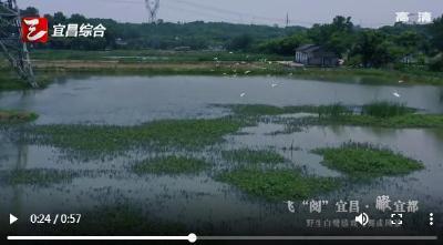 """【三峡广电】飞""""阅""""宜昌·瞰宜都 野生白鹭嬉戏飞舞成风景"""