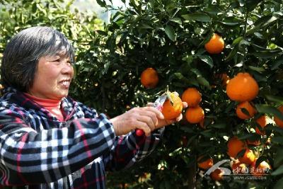 龙家坝的丑柑熟了