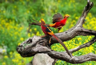 """传说中的""""凤凰""""——红腹锦鸡"""