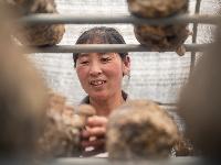 照京坪的香菇丰收了