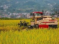 又是稻香谷黄时……