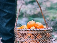 柿子熟了,这金黄甚是诱人