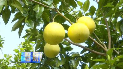 长梁:柚子丰收果农乐