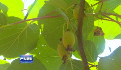 西溪坝村猕猴桃种植引领脱贫致富路