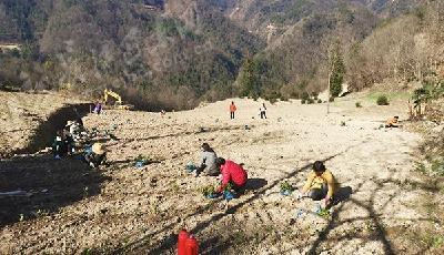 【新春走基层】葛藤山村:千亩茶产业基地建设忙
