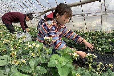 """【新春走基层】平阳坝草莓飘香 游客享受""""莓""""好时光"""