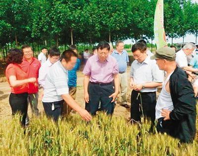 中国杂交小麦研发领跑国际 可增产20%以上