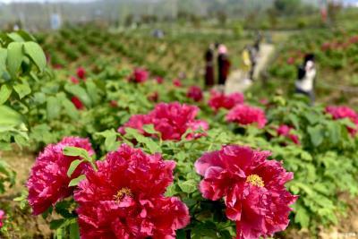 人间四月,牡丹花开,沼山邀您赏花啦!