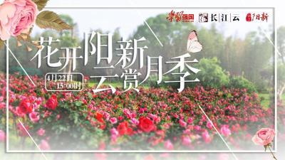直播|云游湖北 不负春光!花开阳新 云赏月季