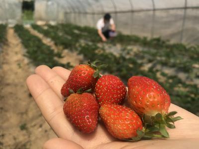 """鹤峰:夏季高山草莓销售热 摇身变成""""致富果"""""""