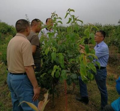 省农科院果树专家杨夫臣博士到市农业局帮扶孙店村指导梨树生产