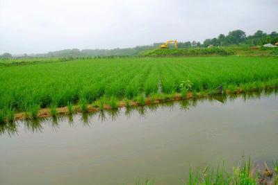 """身高2.25米、亩产1600斤,一种""""高富帅""""水稻在东宝区试种成功!"""