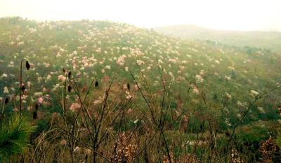 这里藏着一片野生樱桃树群,足有5000亩!周末约起~~~