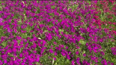 荆门花卉苗木种植面积达64万亩