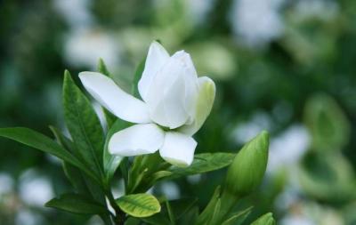 来,一起唱,栀子花开……刘仁八镇万亩栀子花种植基地让您流连忘返