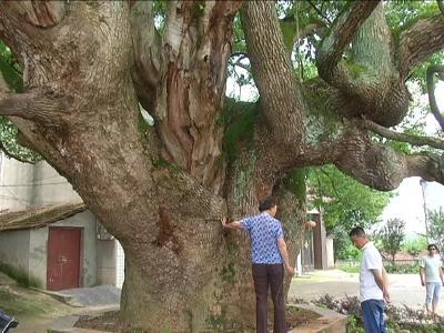 千年古树遭蚁害 专家下乡治病根