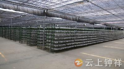 【新气象·开门红】钟祥:发展精深加工 做大香菇产业