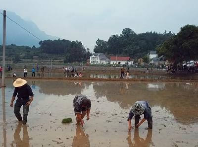 黄粮镇举行第三届插秧节  游客体验农耕乐趣