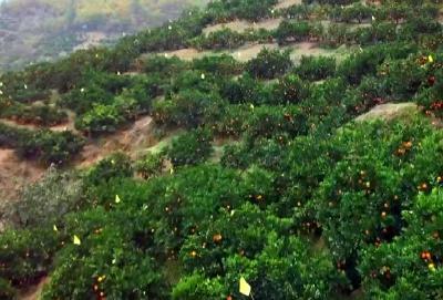 今年全县柑橘面积趋于稳定 晚熟柑橘销售看好
