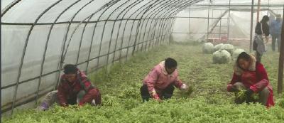 李市镇光芒村:藜蒿种植助力增收脱贫