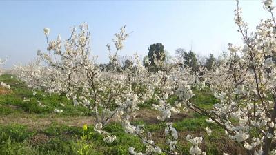 沙洋:春来樱花开 果农管理忙