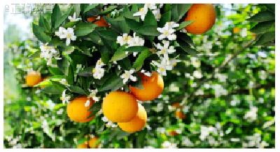 """【湖北新闻】秭归:一年四季有""""橙""""意"""