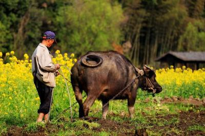 专家支招:耕牛安全越冬务必加强饲养管理