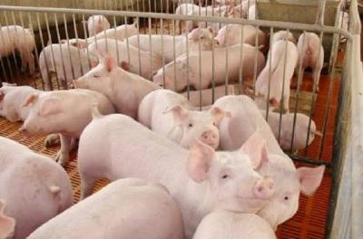育良种母猪要怎么挑选?