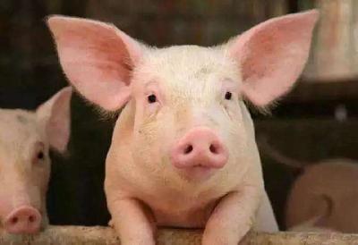 养猪过程中怎么喂养猪才容易长的膘?