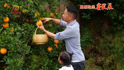精种优质脐橙 积极品改助增收