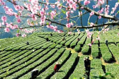 以茶之名,寻味春天