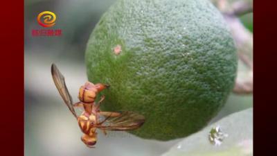 柑橘大实蝇危害及防治