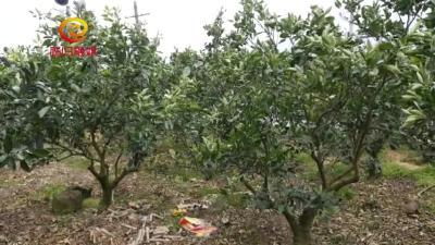 柑橘精品园建设技术讲座:柑橘溃疡病的危害