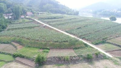 闫坪的葡萄熟了,村民每户增收8000元