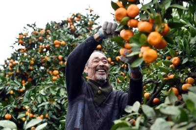 峡口的柑橘熟了~